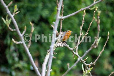 Robin (Erithacus rubecula) on a branch