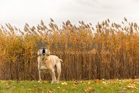 A senior yellow lab barking in front of fall grasses