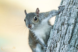 Squirrels_in_tree_in_Florida-_emm.is-3