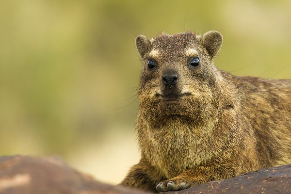 Rock dassie in Quiver Tree Forest in southern Namibia.