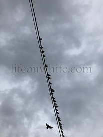 Pigeons perched in a row on a wire against a grey cloudy background. One is soaring, flying