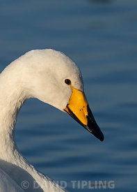 Whooper Swan Cygnus cygnus Martin Mere Lancs UK winter