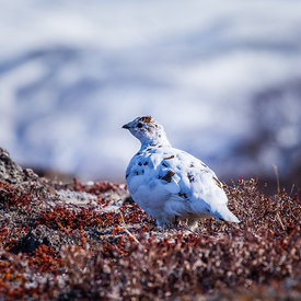 Rjúpa_-_Rock_ptarmigan_Iceland_emm.is-12