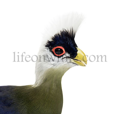 Close-up of a White-crested turaco, Tauraco leucolophus against white background