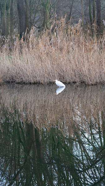Great white egret in reed lands reflection