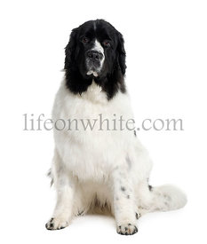 Newfoundland dog, 2 years old, sitting