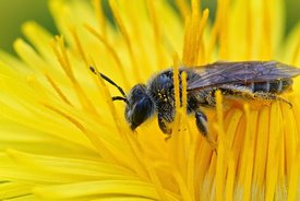 Closeup of a female red-bellied miner, Andrena ventralis,  in a yellow flower of dandelion, Taraxacum officinale
