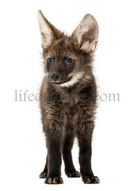 Front view of a Maned Wolf cub standing, looking away, Chrysocyon brachyurus, isolated on white
