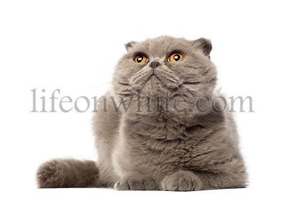 Scottish Fold lying and looking up, 3 years old, against white background