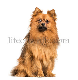 Keeshond dog sitting against white background