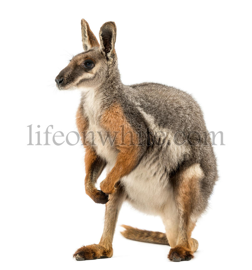 Yellow-footed rock-wallaby standing, Petrogale xanthopus, isolated on white