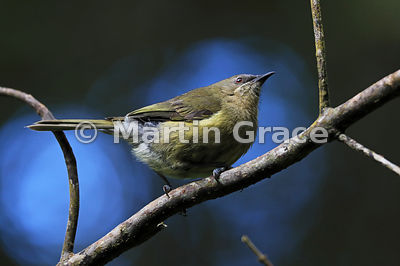 Bellbird (Anthornis melanura), Zealandia, Wellington, North Island, New Zealand