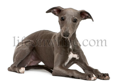 Whippet puppy, 6 months old, lying in front of white background