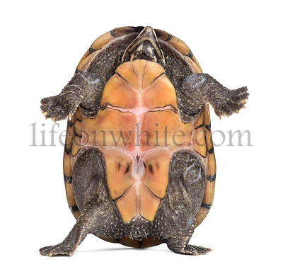 Female striped mud turtle (4 years old), Kinosternon baurii, standing up in front of a white background
