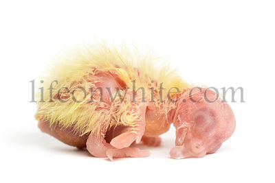 Cockatiel chick  - Nymphicus hollandicus (1 day old), isolated on white