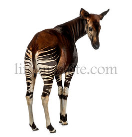 Rear view of an Okapi looking back, Okapia johnstoni, isolated on white