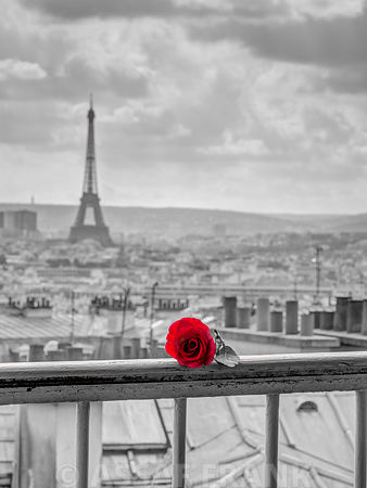 Rose on balcony railing with Eiffel Tower in background, Paris, France
