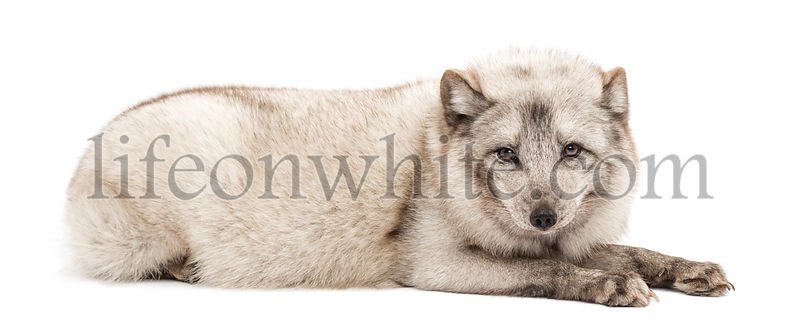 Arctic fox, Vulpes lagopus, also known as the white fox, polar fox or snow fox, lying, isolated on white