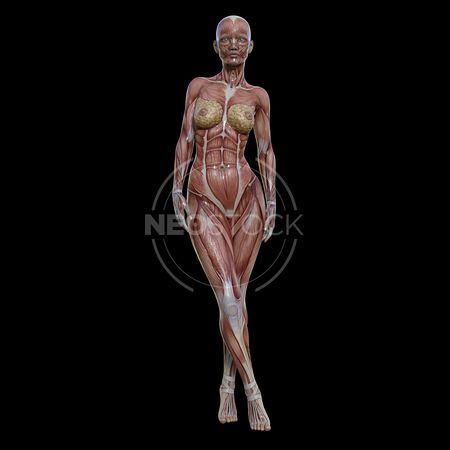 cg-body-pack-female-muscle-map-neostock-25