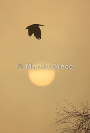 Western Jackdaw (Corvus monedula) in flight with weak winter sun, Badenoch & Strathspey, Scottish Highlands: Alternative crop