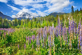 Mountain landscape at Mount Robson with lupin meadow - North America, Canada, British Columbia, Fraser-Fort George, Mount Rob...