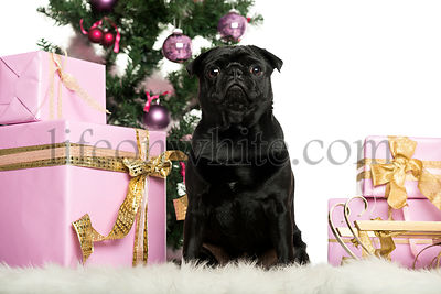 Cairn Terrier sitting in front of Christmas decorations against white background