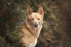 Close up portrait of yellow mixed dog in winter