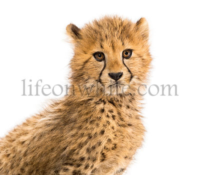 Close-up on a three months old cheetah cubs, isolated on white