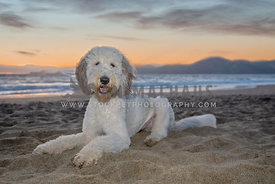 large sheepadoodle laying in sound with sun setting behind