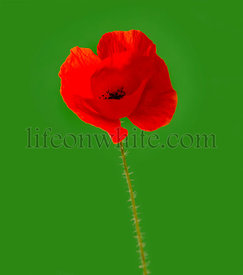Poppy in front of a green background