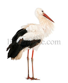 White Stork, Ciconia ciconia, 18 months, standing in front of a white background