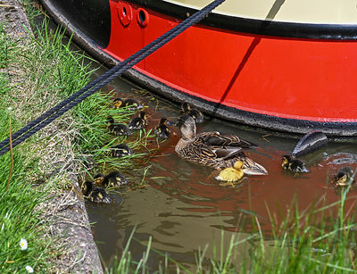 Mallards on the canal