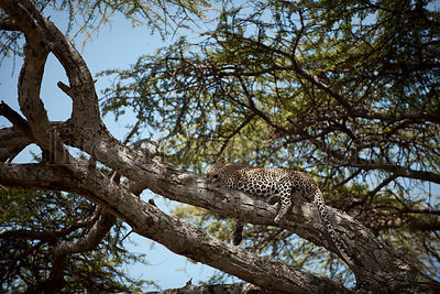 Leopard in a tree at the Serengeti National Park, Tanzania, Africa