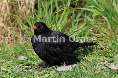 Male Eurasian Blackbird (Turdus merula merula), Zealandia, Wellington, North Island, New Zealand