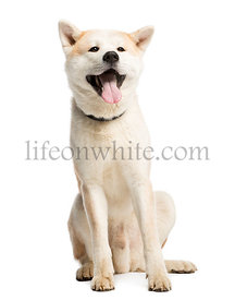 Akita Inu sitting and sticking his tongue out, 2 years old, isolated on white