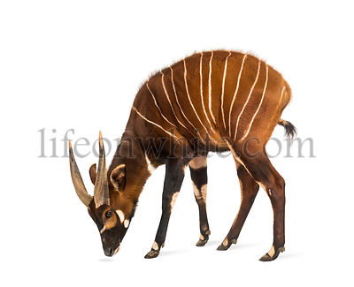 Bongo, antelope, Tragelaphus eurycerus standing against white background