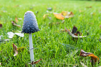 Coprinus comatus - Shaggy ink cap mushroom in autumn in France