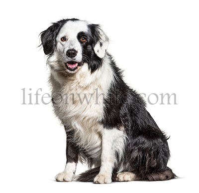 black and white Border Collie sit, isolated on white