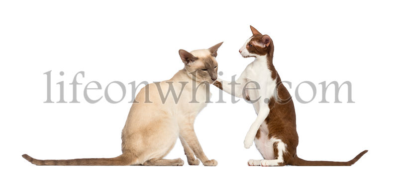 Two Oriental Shorthair sitting, one giving friendly tap on the other against white background