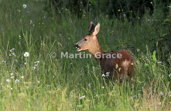 Roe Deer doe (Capreolus capreolus) feeds in golden evening sunlight in a South Lakeland grazing meadow with prominent Oxeye D...