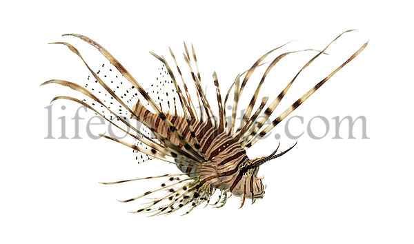 Side view of a red lionfish looking down