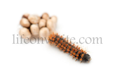 Caterpillar of Giant Peacock Moth, 2 days old, Saturnia pyri, against white background