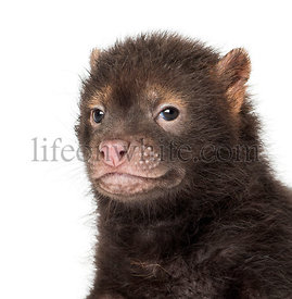 Close-up of a baby Bushdog looking at the camera, Speothos venaticus, 2 months old, isolated on white