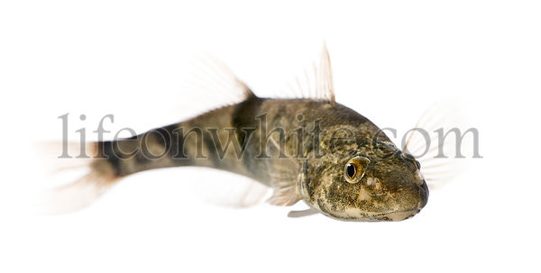 Rhone streber fish, Zingel asper, against white background, studio shot