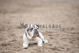 older English Bulldog laying down in the sand