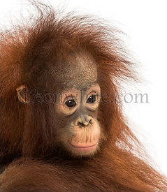 Close-up of a young pensive Bornean orangutan, Pongo pygmaeus, 18 months old, isolated on white