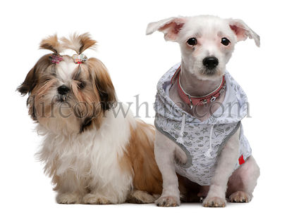 Shih Tzu puppy, 5 months old and Bolognese, 4 years old, dressed up and sitting in front of white background