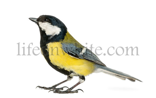 Male great tit looking up, Parus major, isolated on white