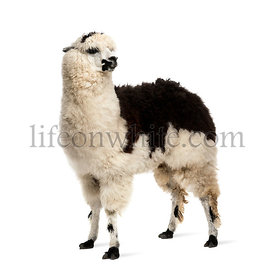 Black and white llama standing, isolated on white