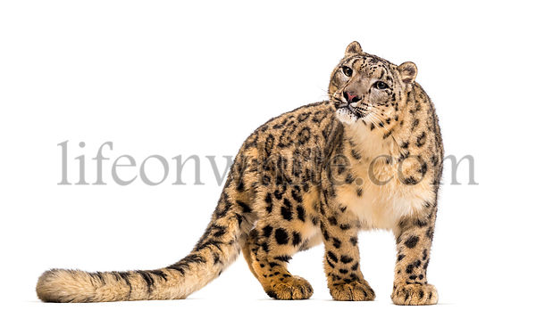 Snow leopard, Panthera uncia, also known as the ounce standing against white background